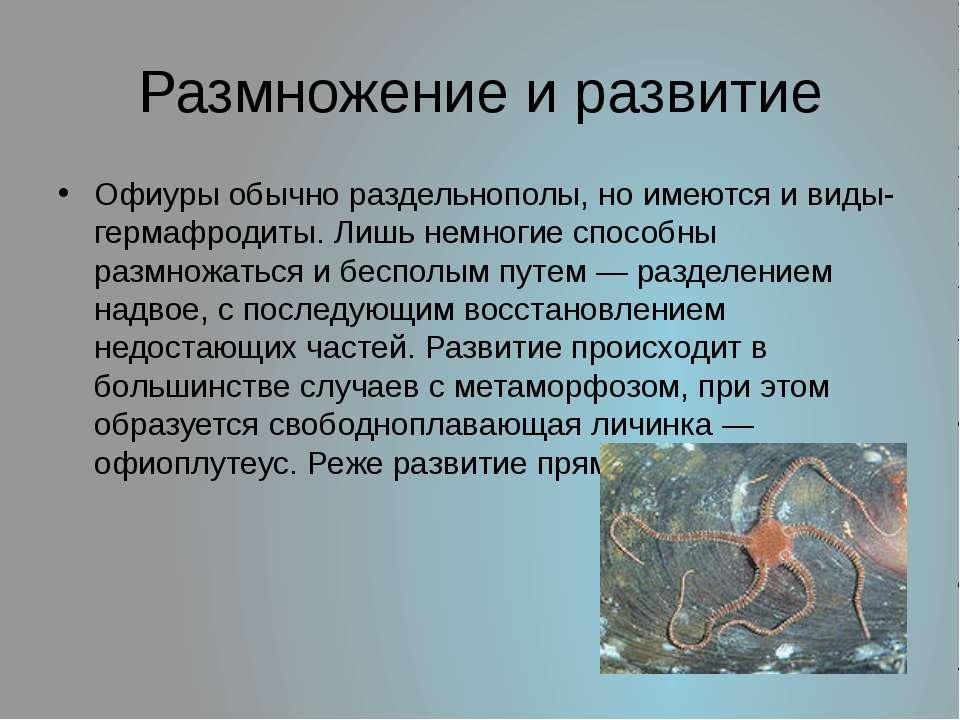 Размножение и развитие Офиуры обычно раздельнополы, но имеются и виды-гермафр...