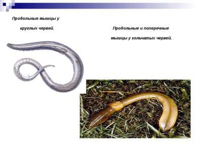 Продольные мышцы у круглых червей. Продольные и поперечные мышцы у кольчатых ...