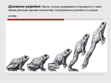 Движение амфибий: Прыгая, лягушка одновременно отталкивается от земли обеими ...