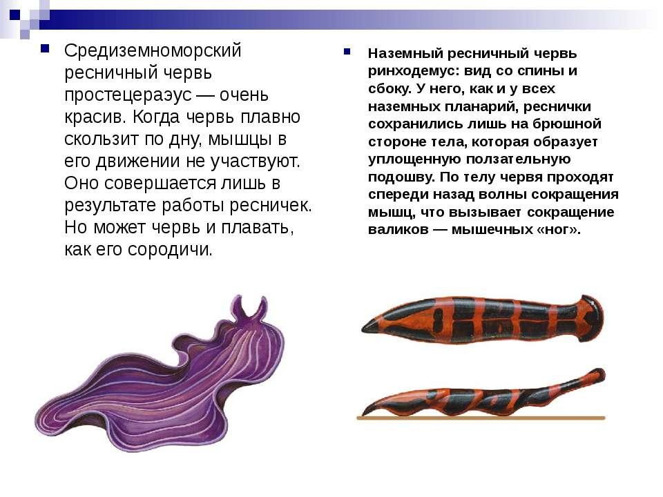 Средиземноморский ресничный червь простецераэус — очень красив. Когда червь п...