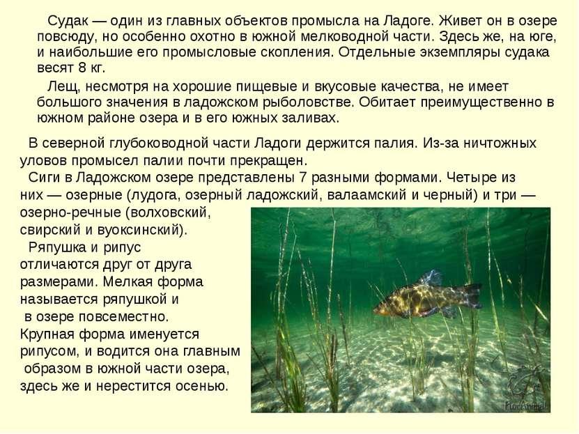 Судак — один из главных объектов промысла на Ладоге. Живет он в озере повсюду...