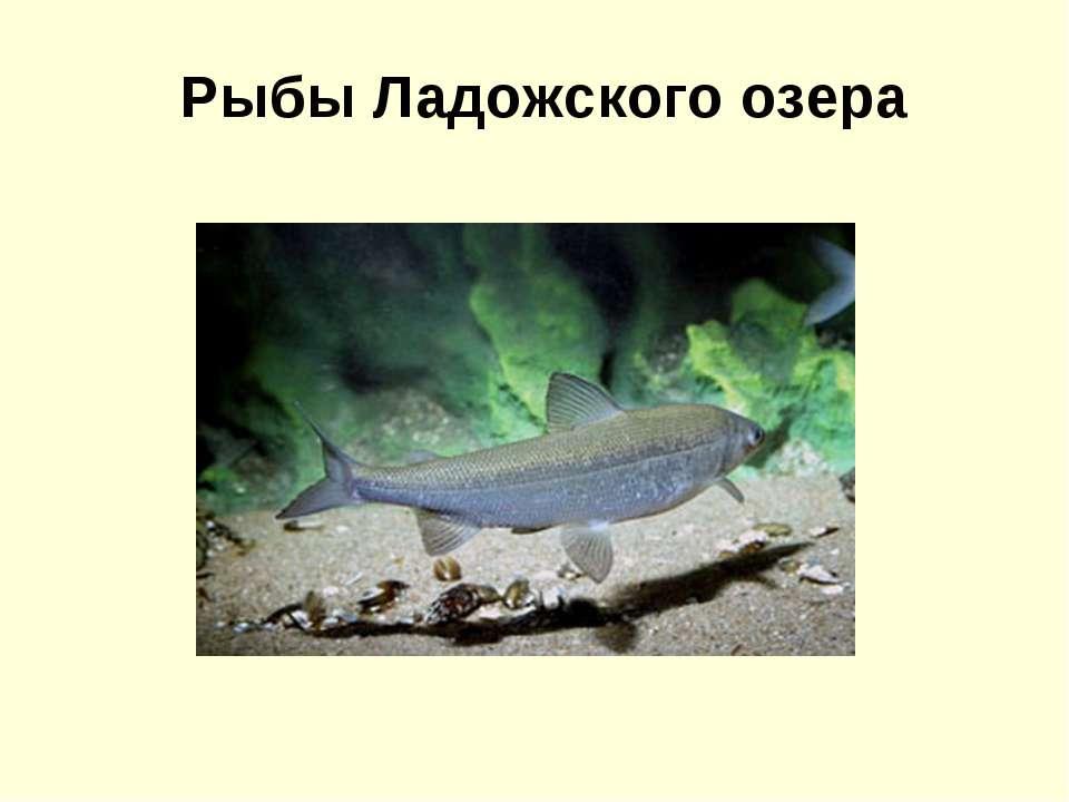 Рыбы Ладожского озера
