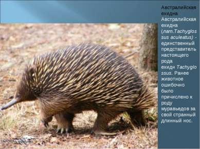 Австралийская ехидна Австралийская ехидна (лат.Tachyglossus aculeatus)- един...