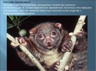 Поссумы (кускусовые) Поссумы(лат.Phalangeridae)принадлежат семейству сумчат...
