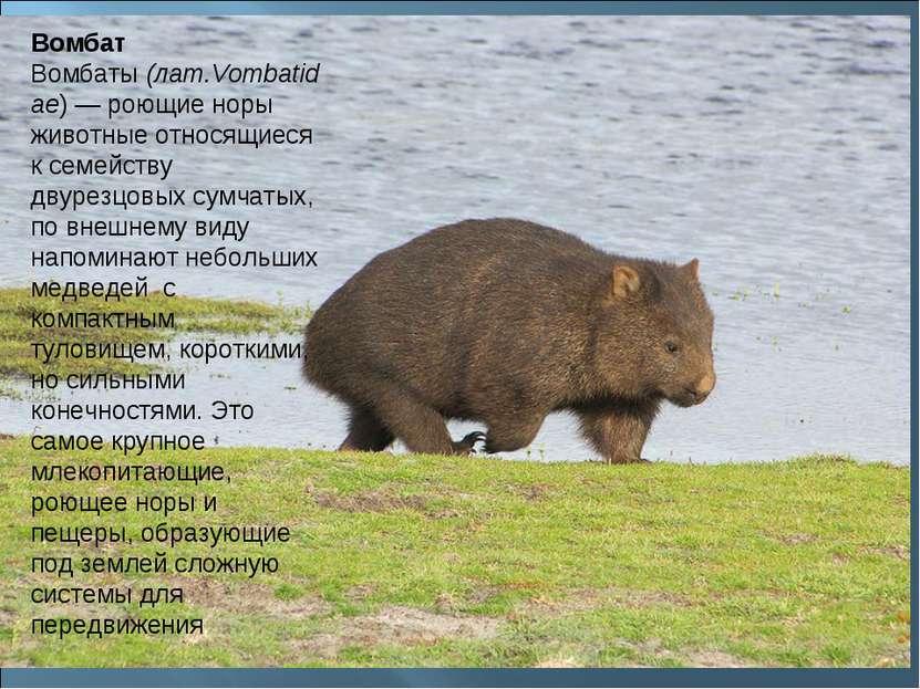 Вомбат Вомбаты(лат.Vombatidae) — роющие норы животные относящиеся к семейств...