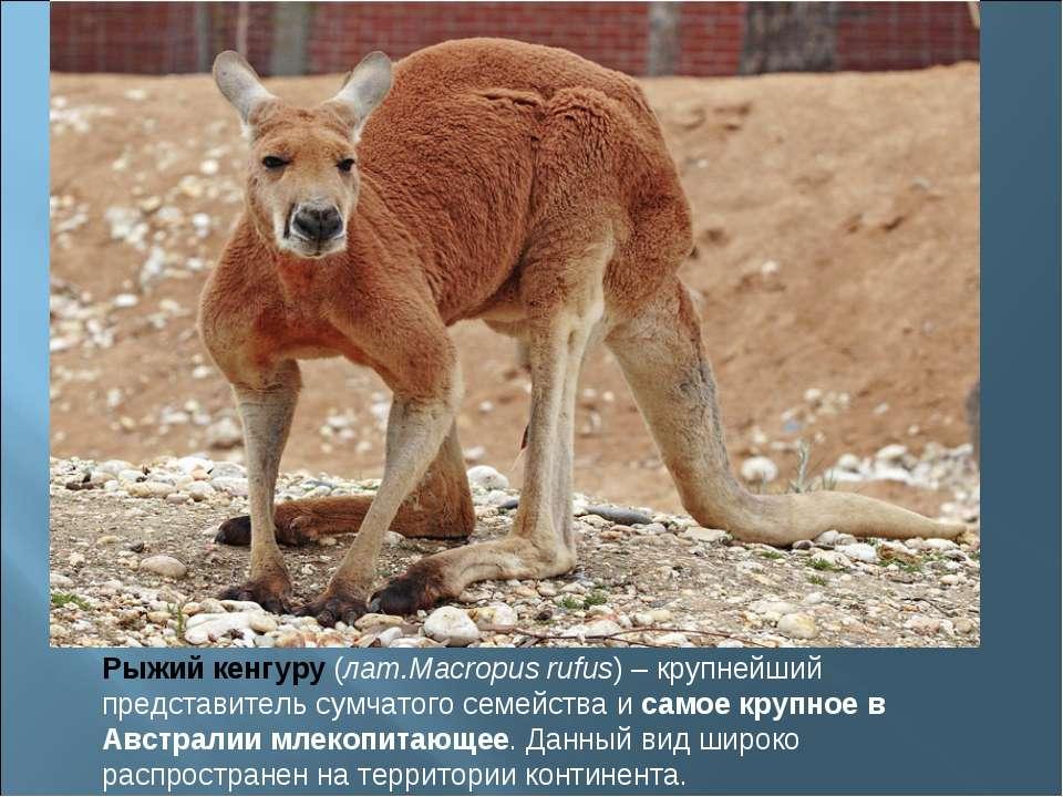 Рыжий кенгуру(лат.Macropus rufus) – крупнейший представитель сумчатого семей...