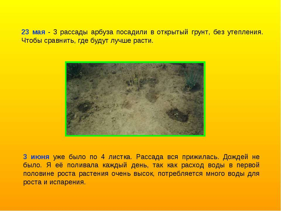 23 мая - 3 рассады арбуза посадили в открытый грунт, без утепления. Чтобы сра...