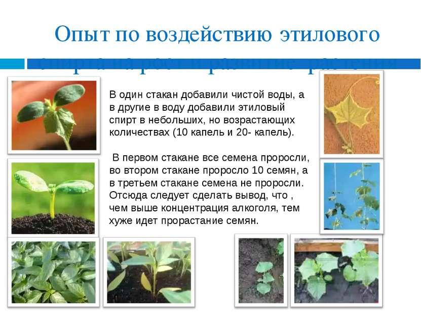 Опыт по воздействию этилового спирта на рост и развитие растения В один стака...