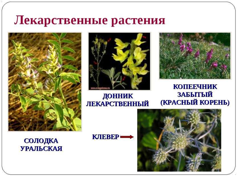 Лекарственные растения СОЛОДКА УРАЛЬСКАЯ КЛЕВЕР ДОННИК ЛЕКАРСТВЕННЫЙ КОПЕЕЧНИ...
