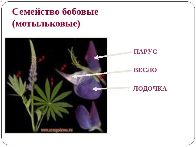 Семейство бобовые (мотыльковые) ПАРУС ВЕСЛО ЛОДОЧКА