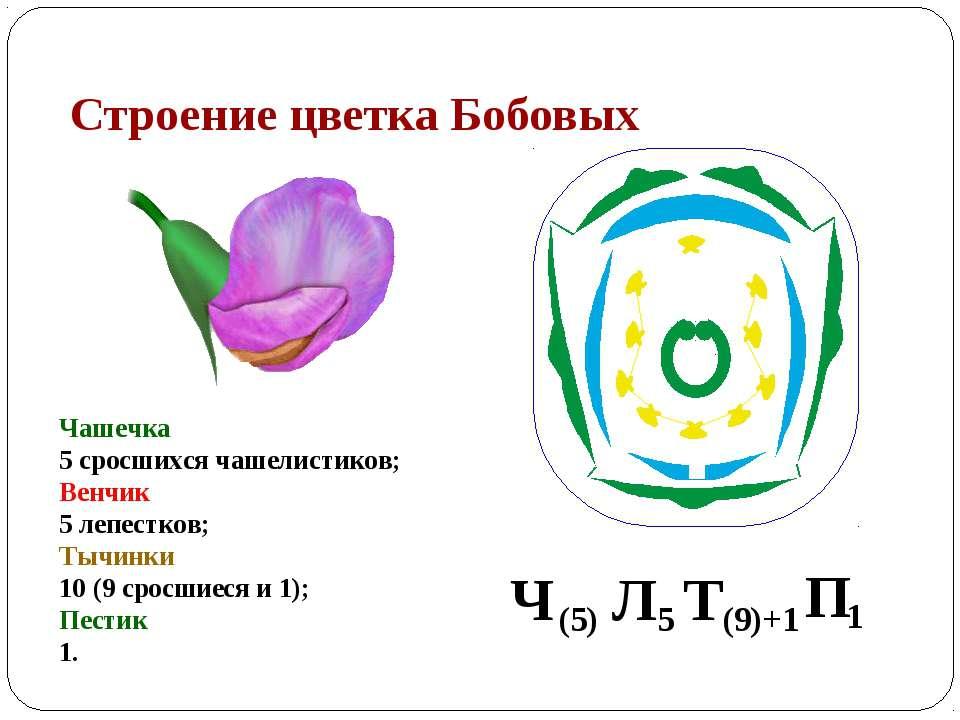 Строение цветка Бобовых Чашечка 5 сросшихся чашелистиков; Венчик 5 лепестков;...