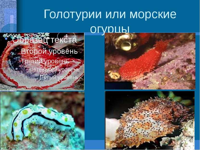 Голотурии или морские огурцы