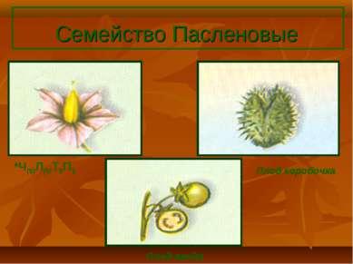 Семейство Пасленовые *Ч(5)Л(5)Т5П1 Плод коробочка Плод ягода