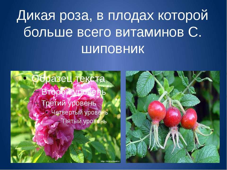 Дикая роза, в плодах которой больше всего витаминов С. шиповник