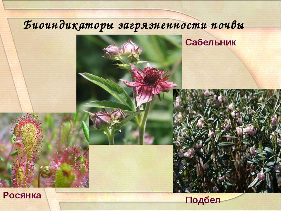 Биоиндикаторы загрязненности почвы Сабельник Подбел Росянка