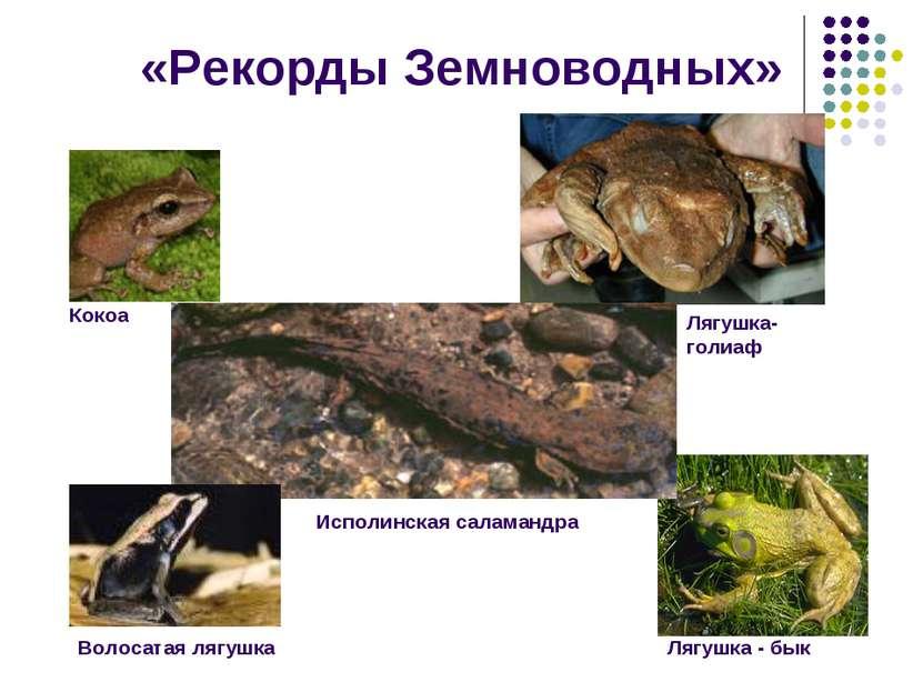 «Рекорды Земноводных» Лягушка - бык Волосатая лягушка Кокоа Лягушка- голиаф И...