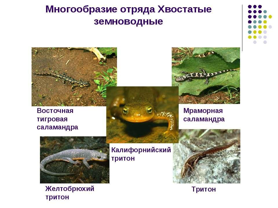 Многообразие отряда Хвостатые земноводные Восточная тигровая саламандра Мрамо...