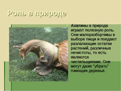 Роль в природе Ахатины в природе играют полезную роль. Они малоразборчивы в в...