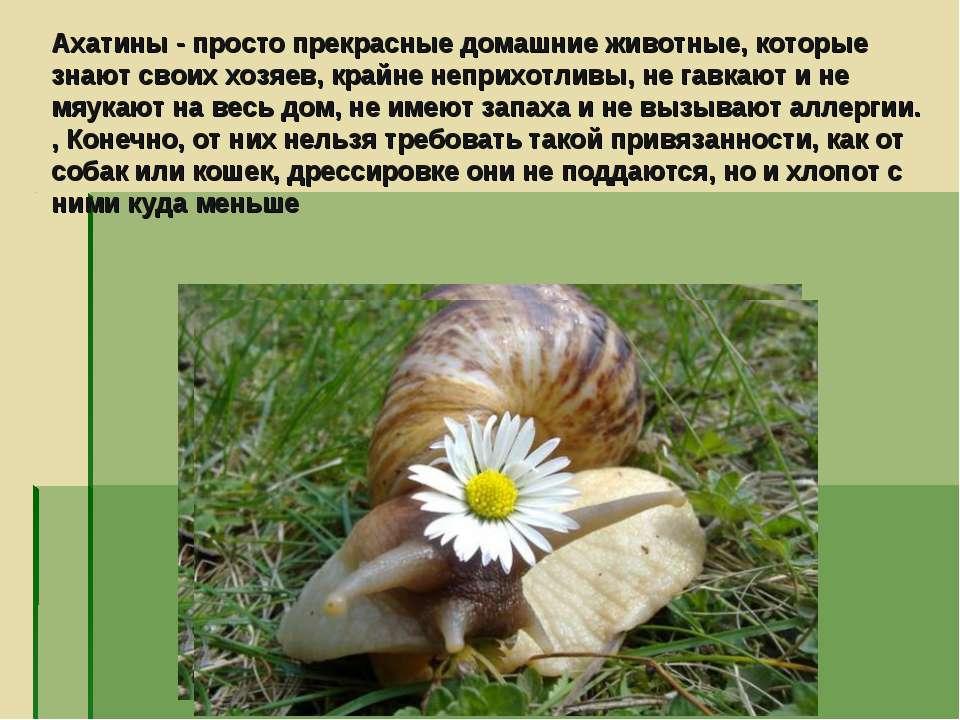 Ахатины - просто прекрасные домашние животные, которые знают своих хозяев, кр...