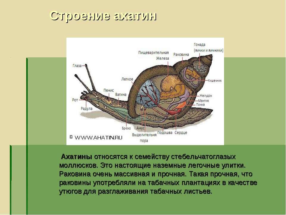 Строение ахатин Ахатины относятся к семейству стебельчатоглазых моллюсков. Эт...