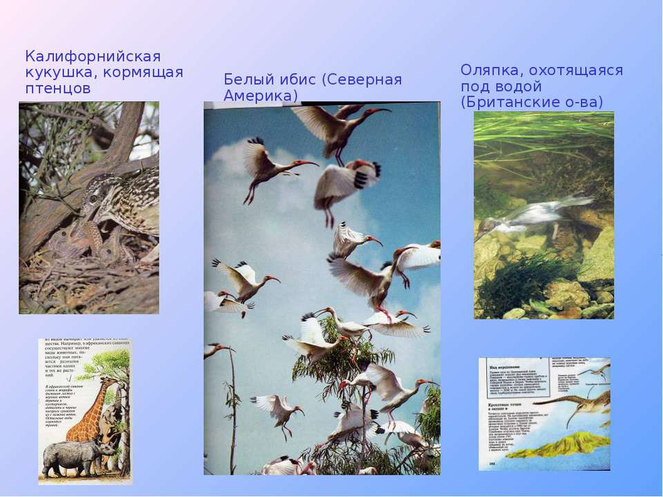Калифорнийская кукушка, кормящая птенцов Белый ибис (Северная Америка) Оляпка...