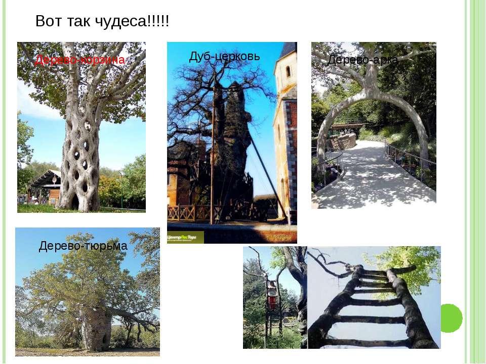 Вот так чудеса!!!!! Дерево-корзина Дуб-церковь Дерево-тюрьма Дерево-арка