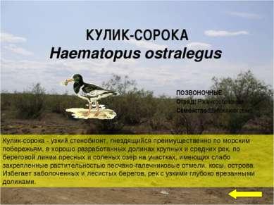 Кулик-сорока - узкий стенобионт, гнездящийся преимущественно по морским побер...
