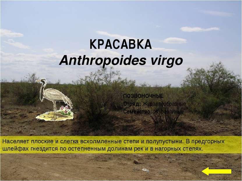 КРАСАВКА Anthropoides virgo Населяет плоские и слегка всхолмленные степи и п...