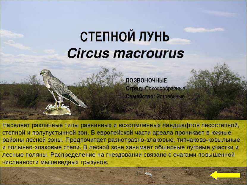 СТЕПНОЙ ЛУНЬ Circus macrourus Населяет различные типы равнинных и всхолмленн...