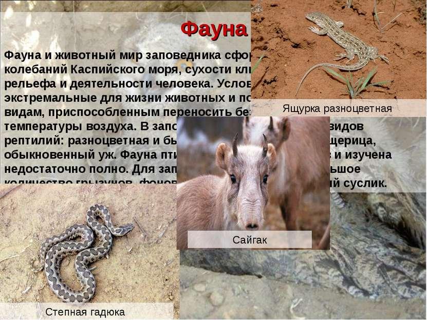 Фауна Фауна и животный мир заповедника сформировались под влиянием колебаний ...
