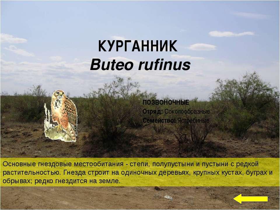 КУРГАННИК Buteo rufinus Основные гнездовые местообитания - степи, полупустыни...