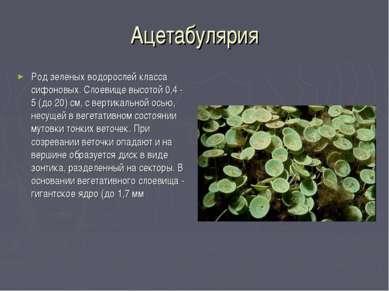 Ацетабулярия Род зеленых водорослей класса сифоновых. Слоевище высотой 0,4 - ...