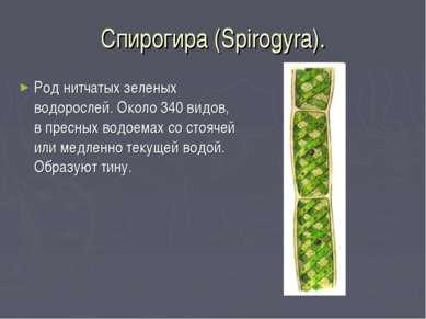 Спирогира (Spirogyra). Род нитчатых зеленых водорослей. Около 340 видов, в пр...