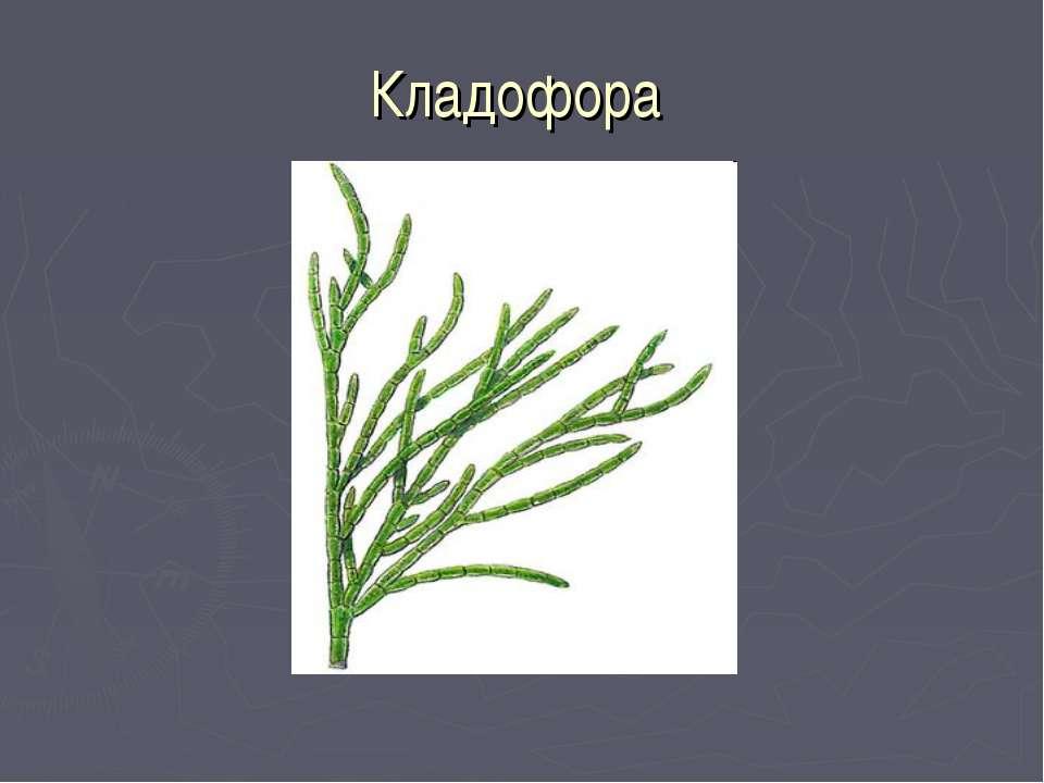 Кладофора