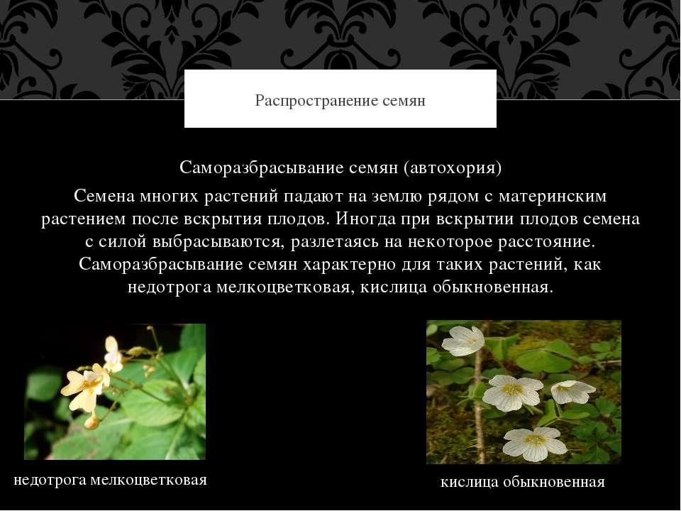 Саморазбрасывание семян (автохория) Семена многих растений падают на землю ря...