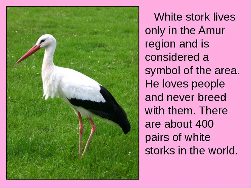 White stork lives only in the Amur region and is considered a symbol of the a...