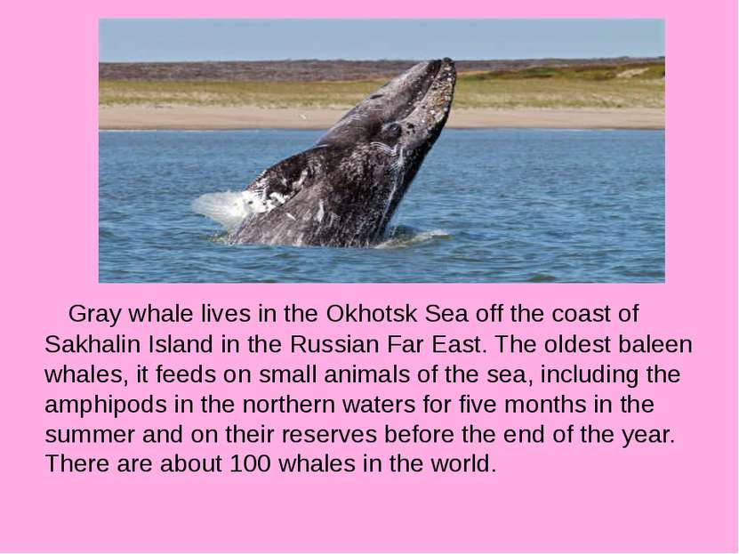 Gray whale lives in the Okhotsk Sea off the coast of Sakhalin Island in the R...