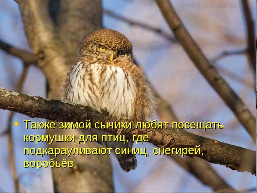 Также зимой сычики любят посещать кормушки для птиц, где подкарауливают синиц...