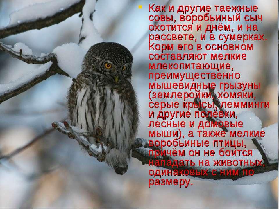 Как и другие таежные совы, воробьиный сыч охотится и днём, и на рассвете, и в...