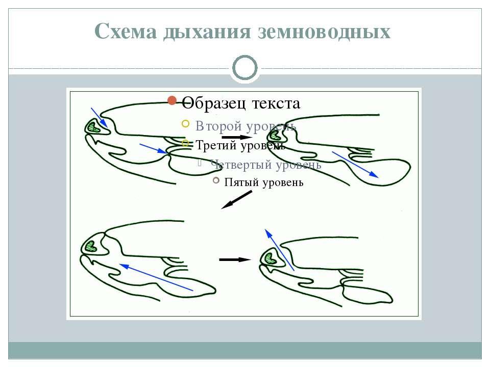 Схема дыхания земноводных