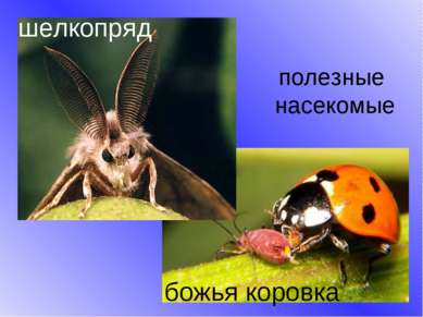 полезные насекомые шелкопряд божья коровка