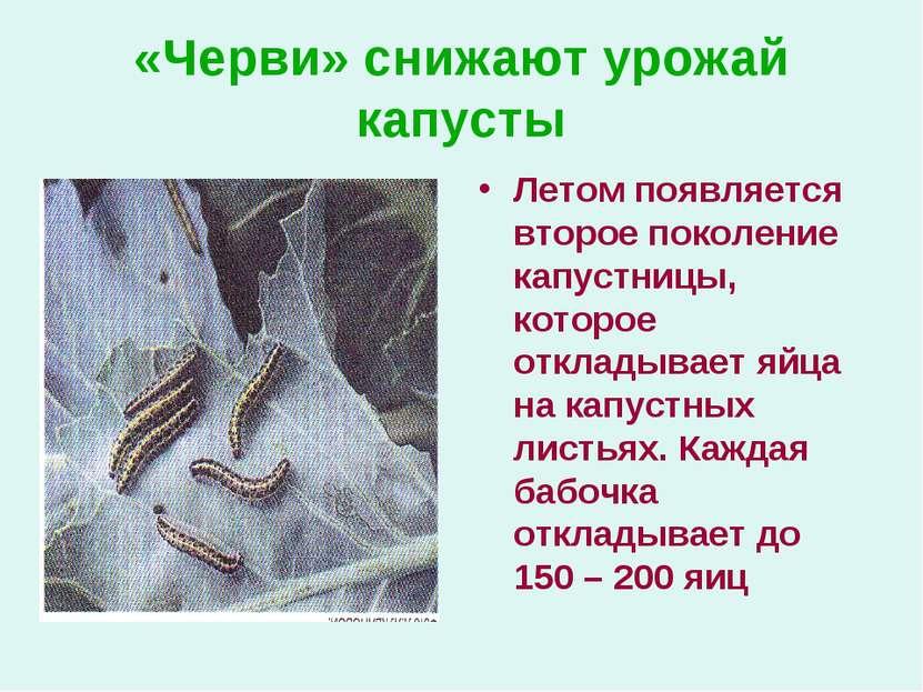 «Черви» снижают урожай капусты Летом появляется второе поколение капустницы, ...
