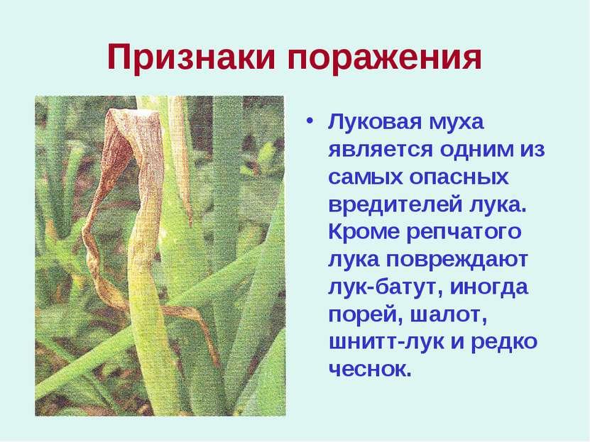 Признаки поражения Луковая муха является одним из самых опасных вредителей лу...