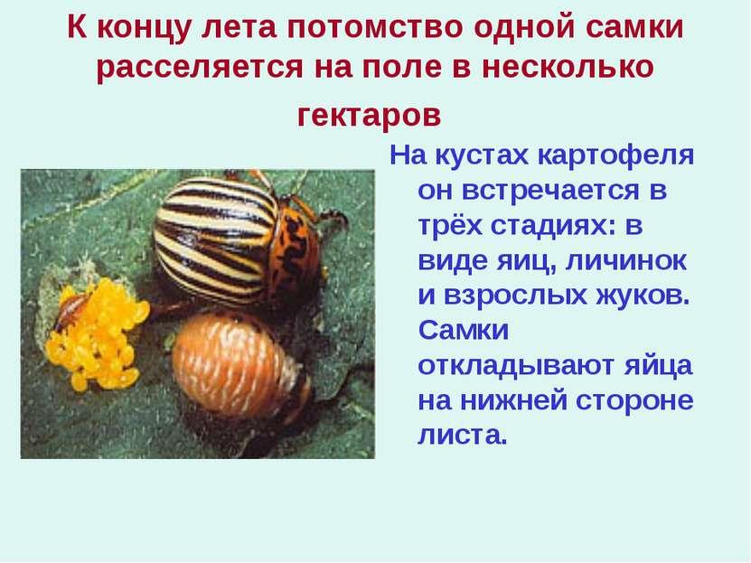 К концу лета потомство одной самки расселяется на поле в несколько гектаров Н...