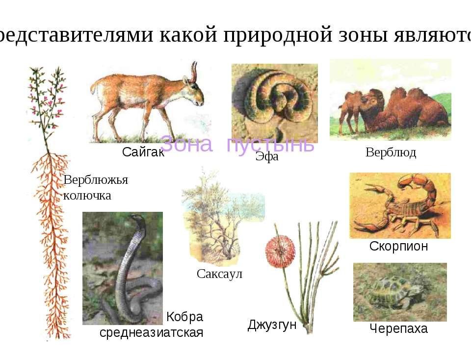 Представителями какой природной зоны являются: Верблюд Саксаул Эфа Верблюжья ...