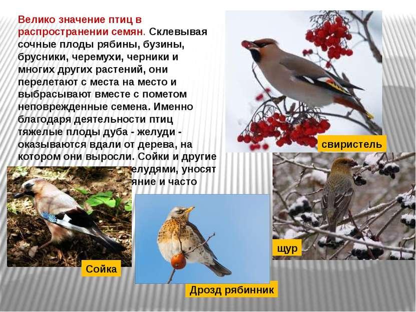 Велико значение птиц в распространении семян. Склевывая сочные плоды рябины, ...