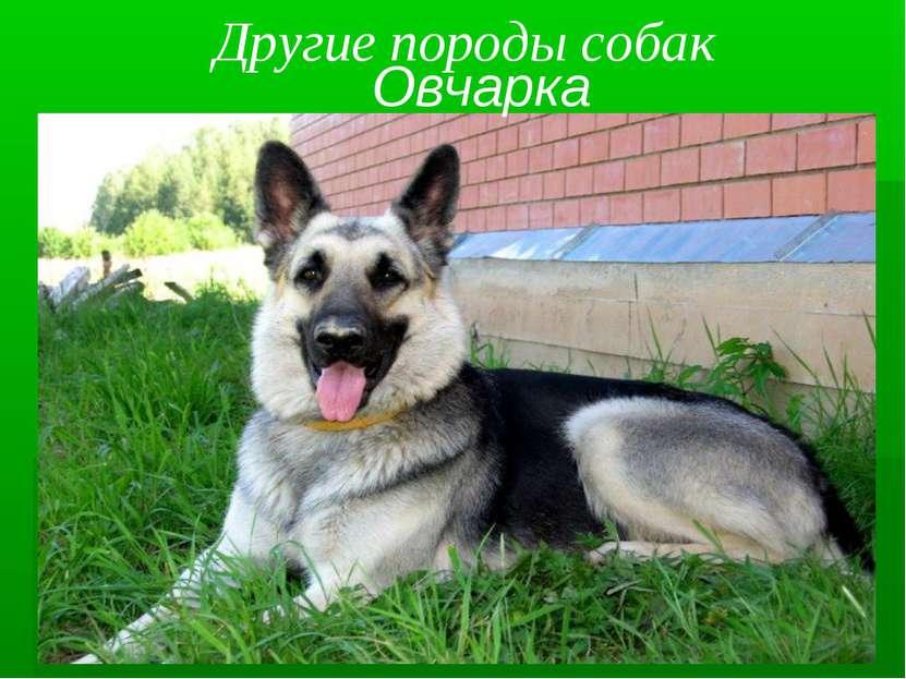 Другие породы собак Овчарка