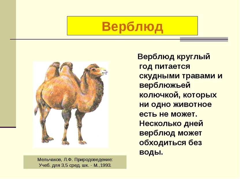 Верблюд круглый год питается скудными травами и верблюжьей колючкой, которых ...