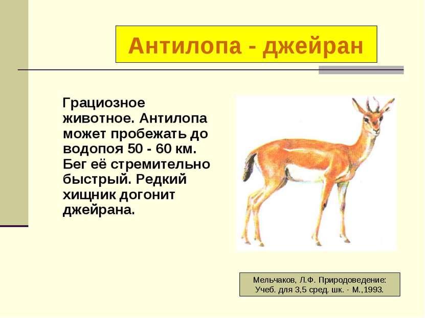 Грациозное животное. Антилопа может пробежать до водопоя 50 - 60 км. Бег её с...