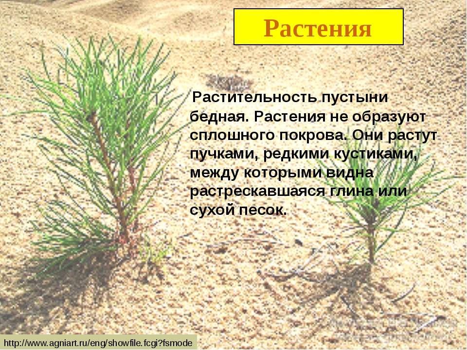Растения Растительность пустыни бедная. Растения не образуют сплошного покров...